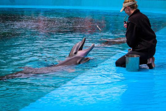 Photo d'un soigneur de delphinariums nourrissant un dauphin