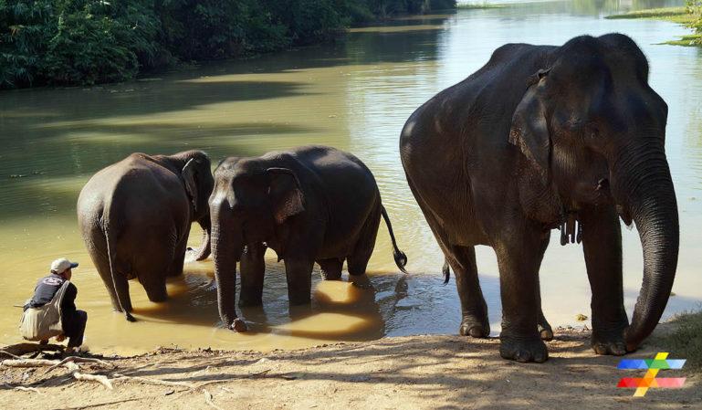 Photo des éléphants en train de se baigner