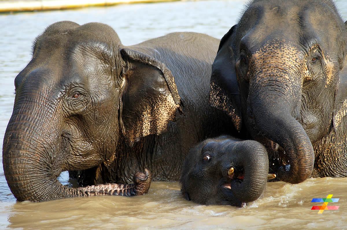 Eléphants dans l'eau - différent.land