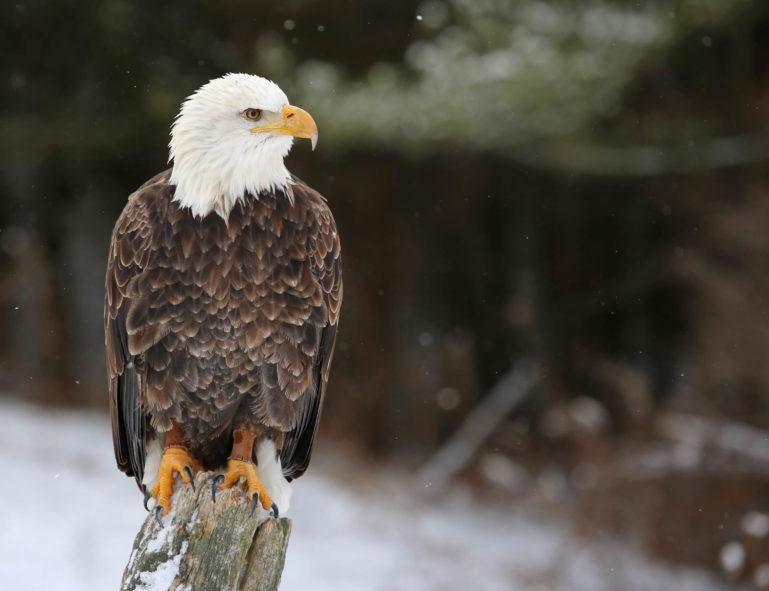 Photo d'un aigle pêcheur (marron à tête blanche) perché sur une souche d'arbre