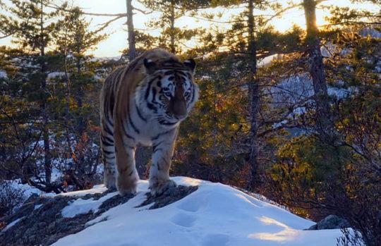 Photo d'un tigre de Sibérie marchant dans une forêt enneigée