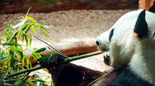 Photo d'un panda en train de manger du bambou
