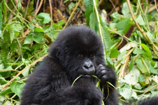 Photo d'un bébé gorille