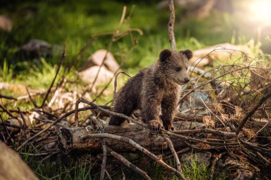 Photo d'un bébé ours sur un tronc d'arbre