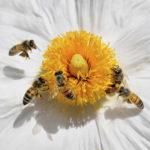 Image pour La disparition des abeilles