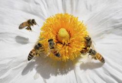 La disparition des abeilles