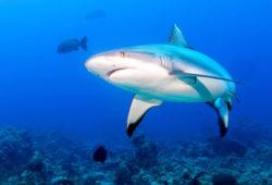 L'extinction des requins